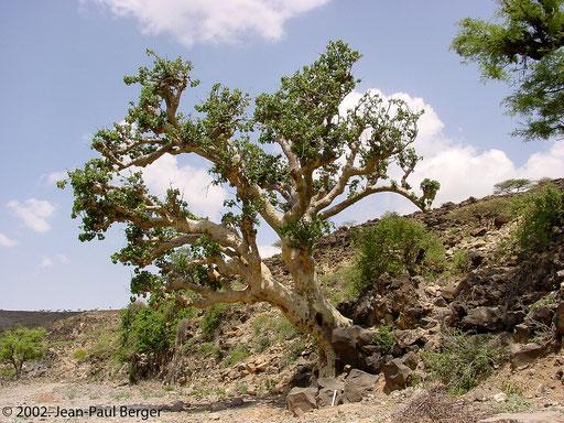 Versant Sud-Ouest du Day - Sterculia africana sur les berges d'un wadi