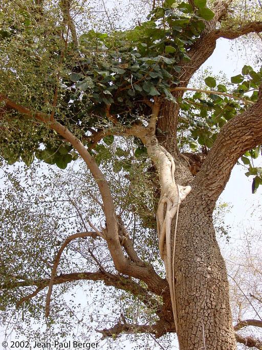 Randa - Ficus vasta se développant sur un Zyziphus.