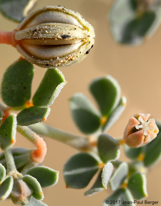 Seetzenia lanata - Jebel Fayah