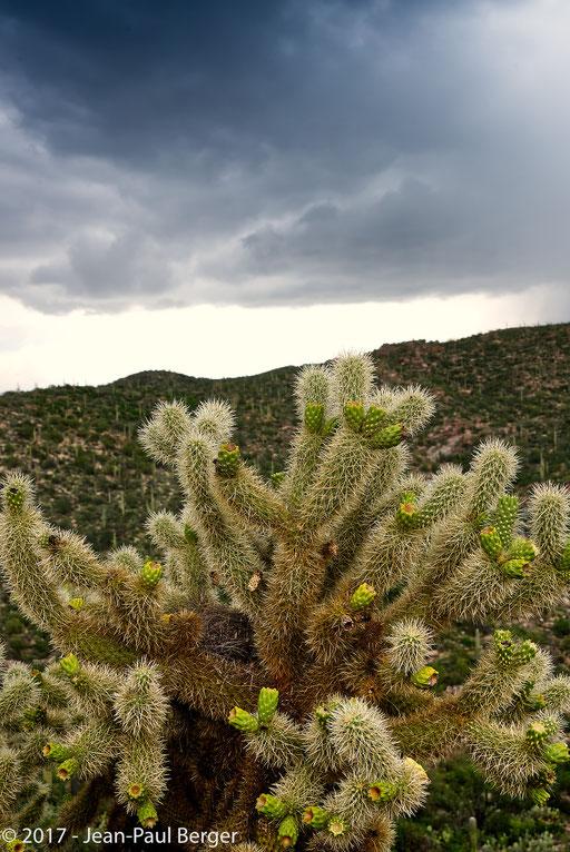 Opuntia bigelorii - Saguaro National Park & Rincon Moutains -