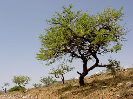 Versant Sud-Ouest du Day - Acacia etbaica