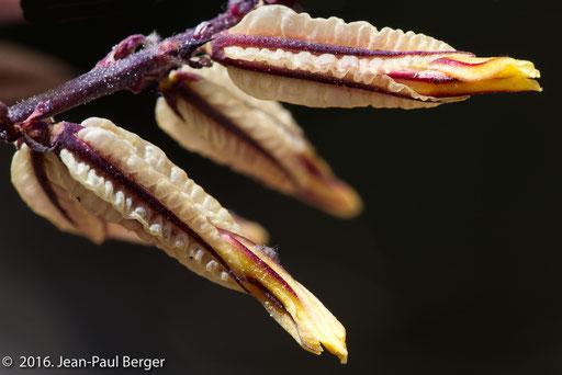 Wadi Awf - Inflorescence Dyerophytum indicum