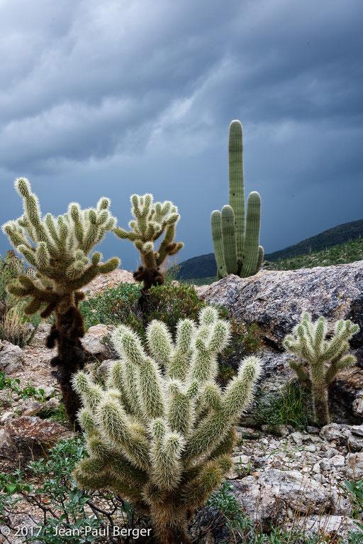 Opuntia bigelorii & Carnegiea gigantea- Saguaro National Park & Rincon Moutains -