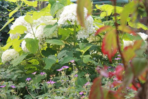 Der Storchenschnabel als Langzeitblüher und Bodendecker