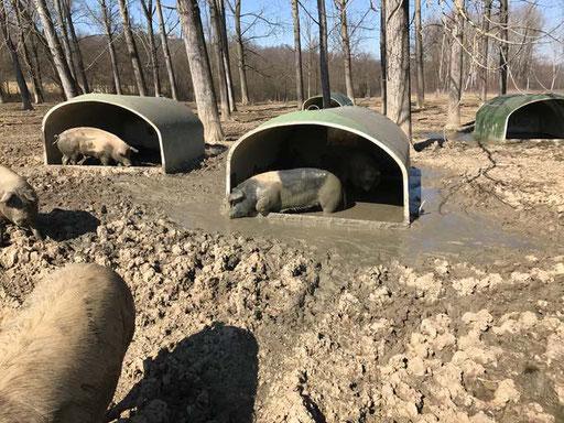 maiali sotto capannine all'aperto