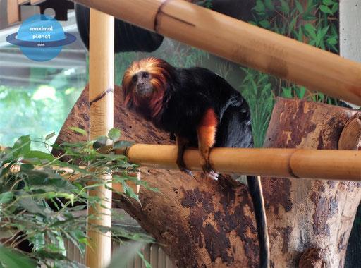 Affe Zoologischer Stadtgarten Karlsruhe