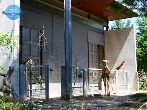 Giraffen Zoologischer Stadtgarten Karlsruhe