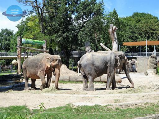 Elefanten Zoologischer Stadtgarten Karlsruhe