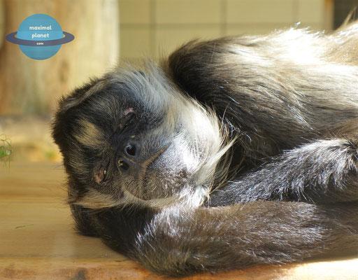 Affen im Zoologischer Stadtgarten Karlsruhe
