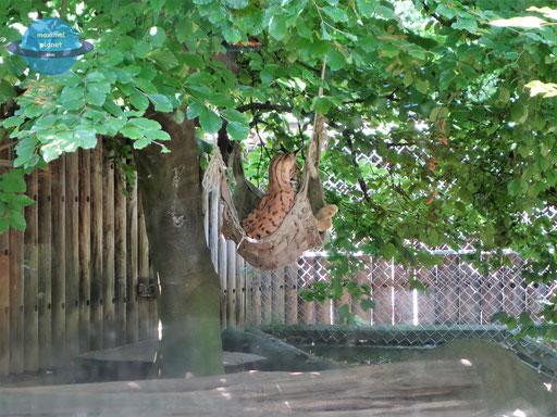 Luchs Zoologischer Stadtgarten Karlsruhe