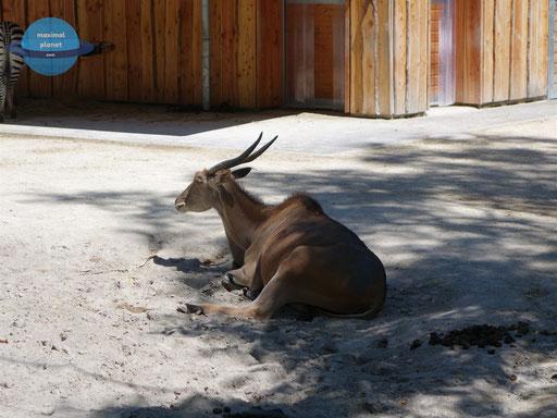 Antilope Zoologischer Stadtgarten Karlsruhe