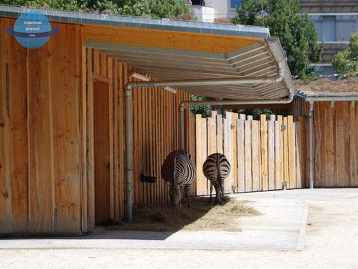 Zebra Zoologischer Stadtgarten Karlsruhe