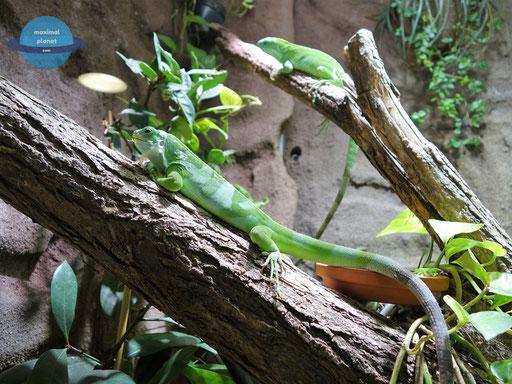 Echse Zoologischer Stadtgarten Karlsruhe