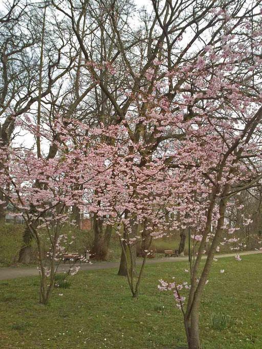 Frühlingskirsche