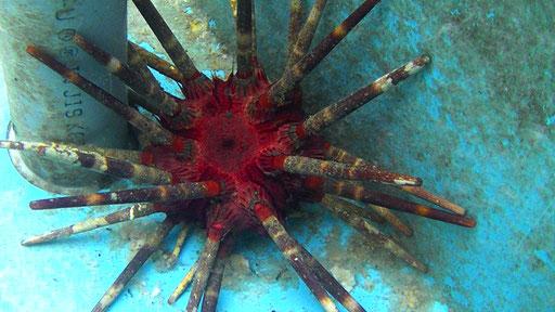 Slate pencil urchin / パイプウニ