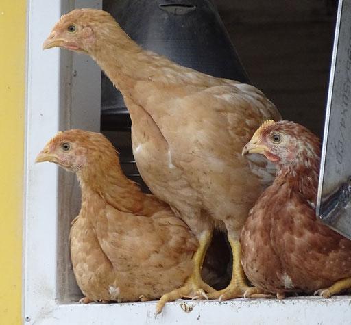 auch die Masthühner testen mal die Witterung