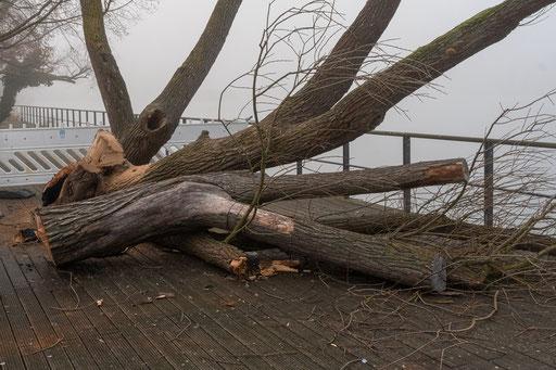 Aus Sicherheitsgründen wurden die verbrannten Baumteile entfernt.  Zurück blieb ein Torso der beliebten Weide.