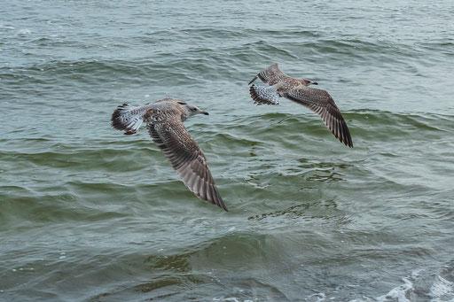 Raubmöwen proben den Formationsflug