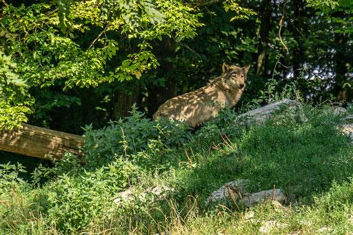 Timberlandwolf auf Wache