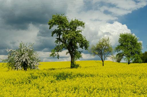 Blühende Raps-Landschaften am Rand vom Steigerwald