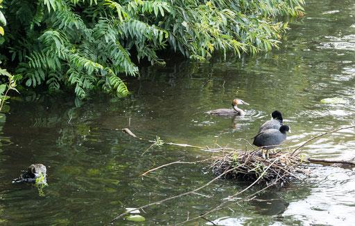 Wasservögel auf der Außenalster