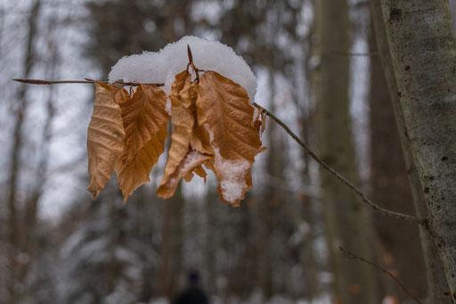 Buchenblätter mit Schneehäubchen