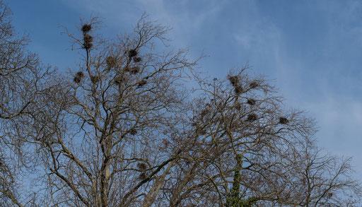 Krackenkolonie im Rosengarten