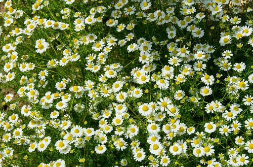 Kräutergarten, Echte Kamille