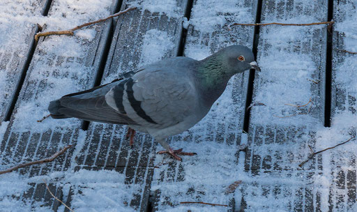 Die Taube läuft vorsichtig über den vereisten Stadtbalkon
