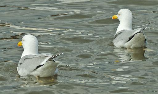 Grachtenrundfahrt in Amsterdam, schwimmendes Möwenpaar