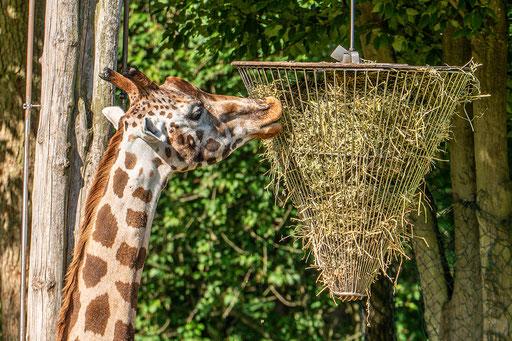 Giraffe am Futterkorb