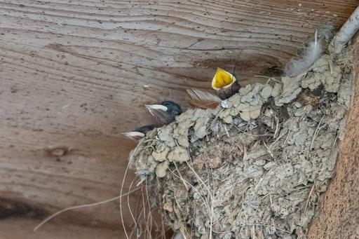 Junge Rauchschwalben im Nest