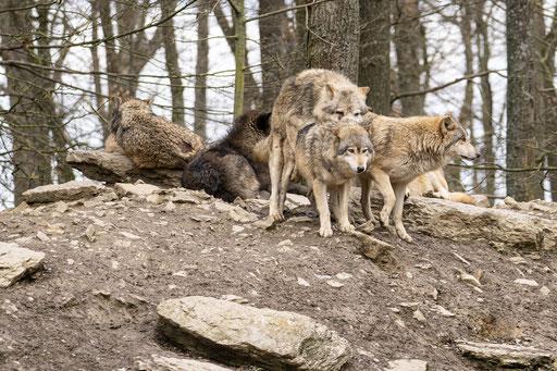 Timberwölfe bei der Paarung