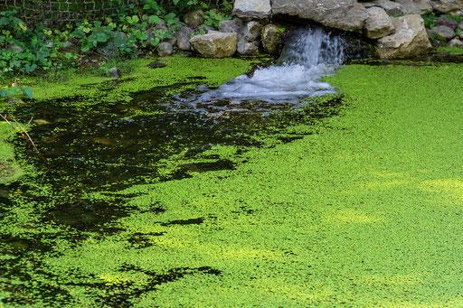Kleinen Teich von Wasserlinsen bedeckt