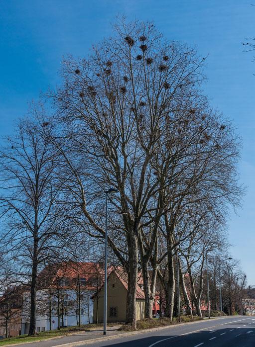 Krackenkolonie am Hindenburgring West (B8)