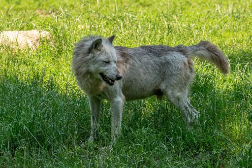 Der Alpha-Rüde des ca. 30-köpfigen Timberwolfrudels