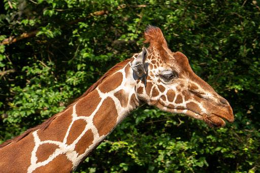 Giraffenkopfstudie