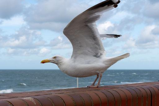 Möwen in allen Größen sind der ständige Begleiter im Land zwischen den Meeren