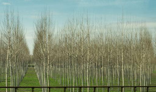 Birkenpflanzung