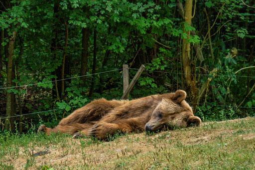 Schlafender Braunbär