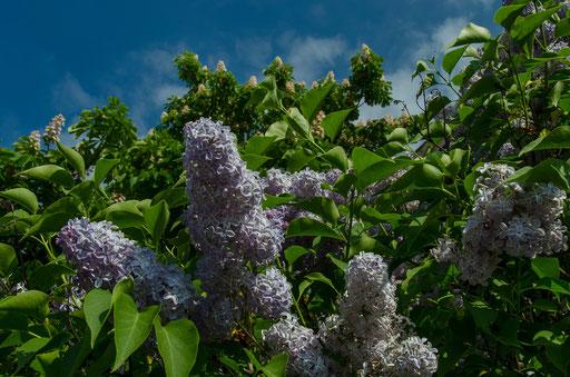 Flieder- und Kastanienblüten im Biergarten
