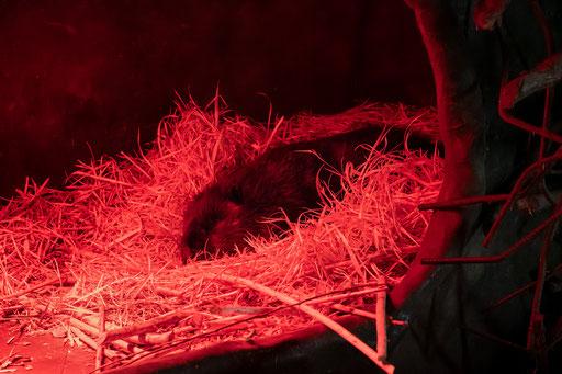 Biber schläft unter der Wärmelampe