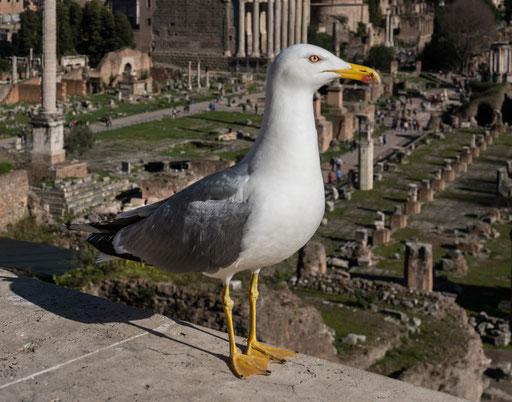 Möwe besucht das Forum Romanum