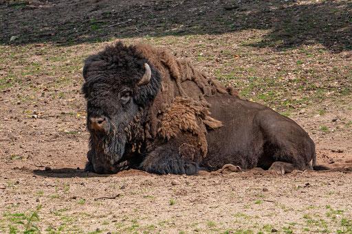 Bisonbulle beobachtet aufmerksam die Umgebung