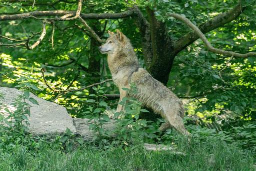 Timberwolf in hab Achtstellung