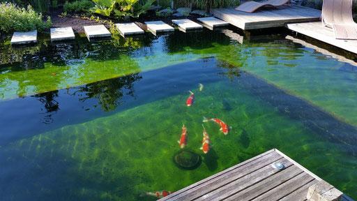 le bassin naturel, viver à Koi
