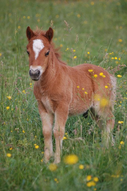 Ginkgo Des Sets , 1 mois - poulain né en 2016, mère : Backdalens Enjoy