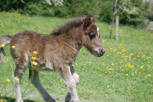 Gombo Des Sets , 1 mois - poulain né en 2016, mère : Commelina Des Sets