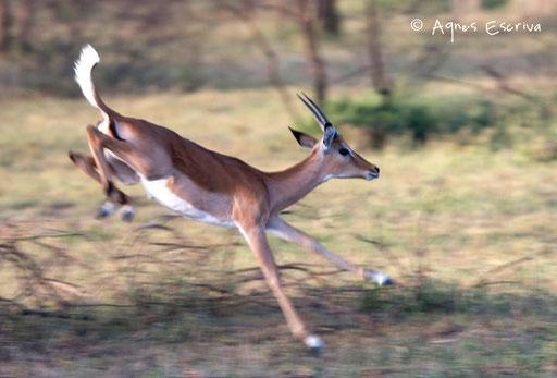 Saut d'impala 1