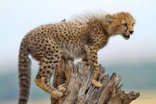 Jeune guépard acrobate